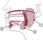 parotid gland