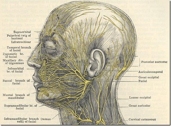 nerves-facial-morris